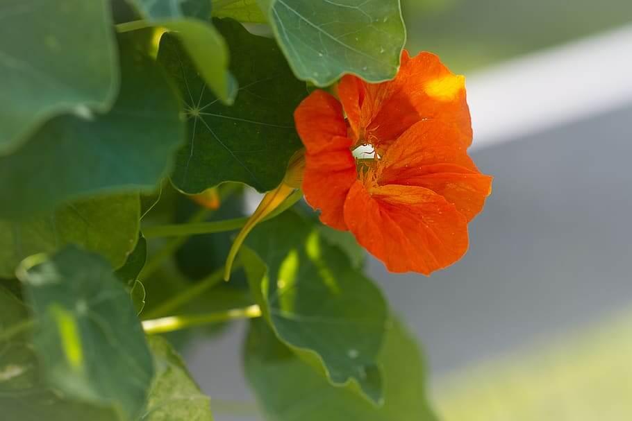 Nasturtium Buds as Substitutes to Capers