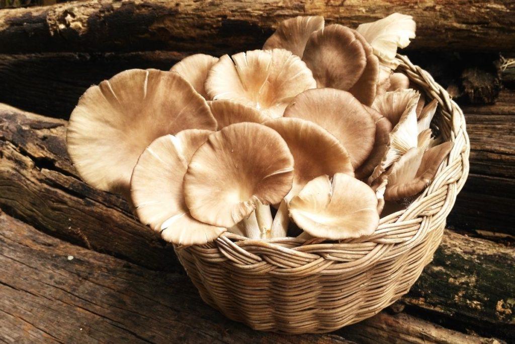 Oyster Mushrooms - Shiitake Mushroom Substitutes